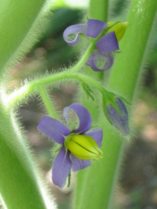 フォックスフェイスの花