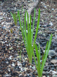 芽を出したムスカリ
