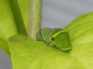 レモンの木を独り占めしているナミアゲハの幼虫