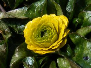 花芯が緑色の八重咲きヒメリュウキンカ