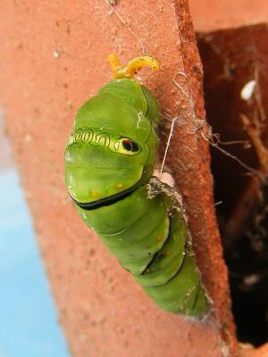 ナミアゲハの前蛹(ぜんよう)