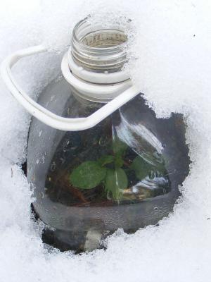 ボトルの中にはアルストロメリアの小苗が・・・