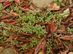 落ち葉とセラスチウム