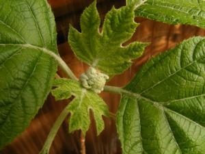 カシワバアジサイの花芽