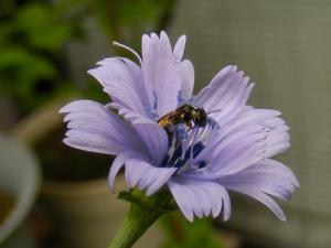 チコリの花と小動物:2011/6/24