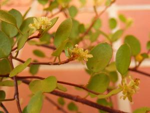 花が咲いたワイヤープランツ