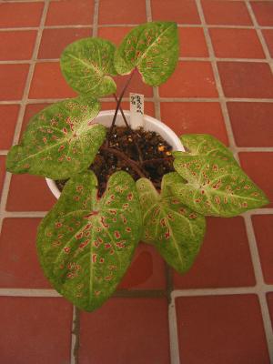 熱帯植物カラジウム