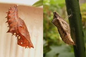 チョウの蛹(さなぎ)2種