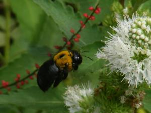 クマバチとシロバナダンギク