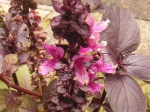 名残の花バジル「ダークオパール」