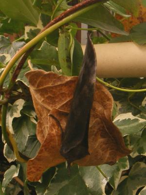 羽化直後のアケビコノハ
