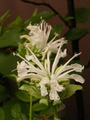 白花のモナルダ