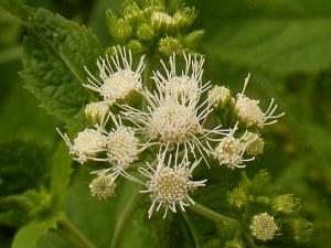 白花のコノクリニウム