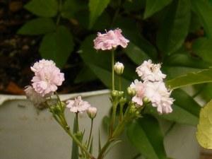 ピンク八重の宿根カスミソウ