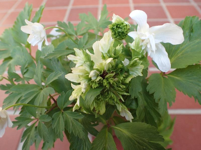 八重咲きヤブイチゲの大変身