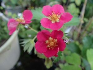 赤花のイチゴ